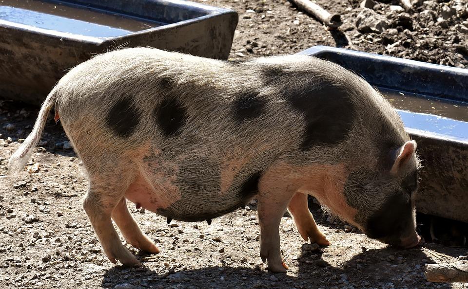 Pigs as Pets - Far North International