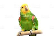 Double-Yellow Headed Amazon Parrot