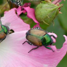 japanese-beetle-damage.jpg