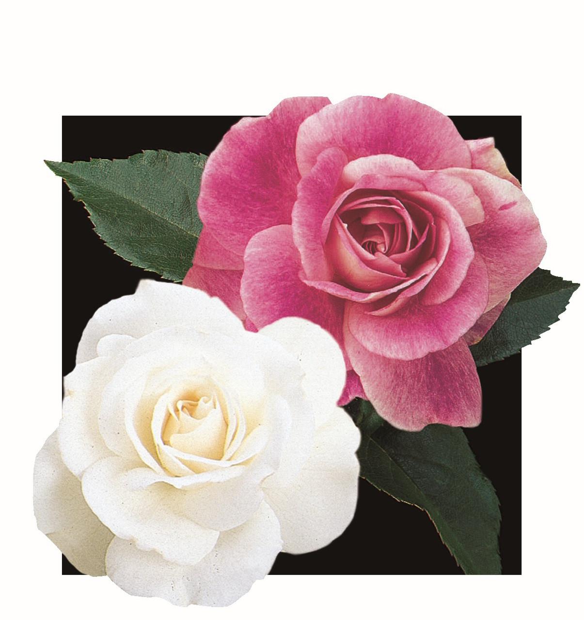 Iceberg & Brilliant Pink Iceberg Tree Rose