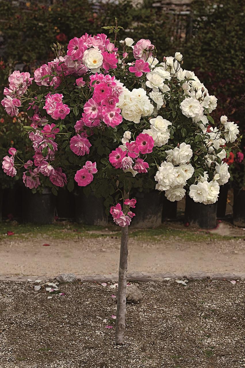 Iceberg & Brilliant Pink Icerberg Tree Rose