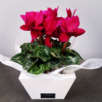 CYCLAMEN in a box