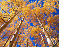 """Autumn Gold on High"" Photograph by Colorado photographer James Frank. Looking up at a canopy of autumn aspen trees along Last Dollar Road in Colorado."