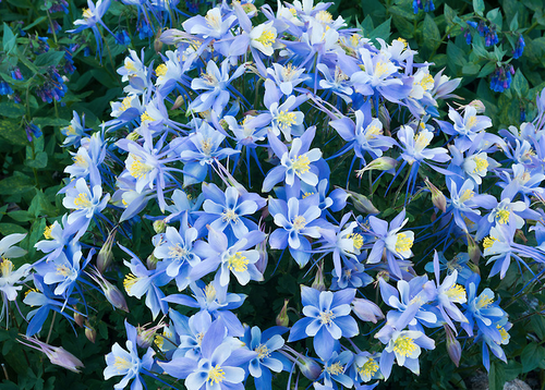"""Remarkable! Colorado Columbine"" Photography by Colorado photographer James Frank. ""No other place in Rocky Mountain National Park have I ever seen columbine with the circumference and proliferation of blooms as the ones discovered near Hutcheson Lakes in the southernmost drainage of the national park."""
