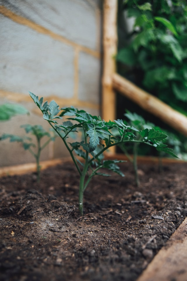 Tomato plants Growing in compost