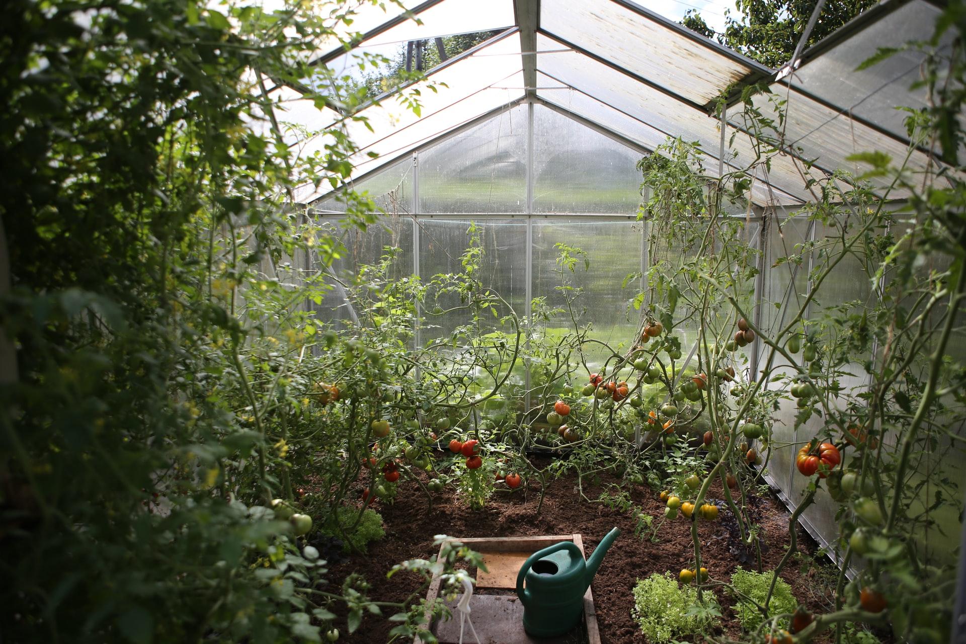 Greenhouse with tomato vines