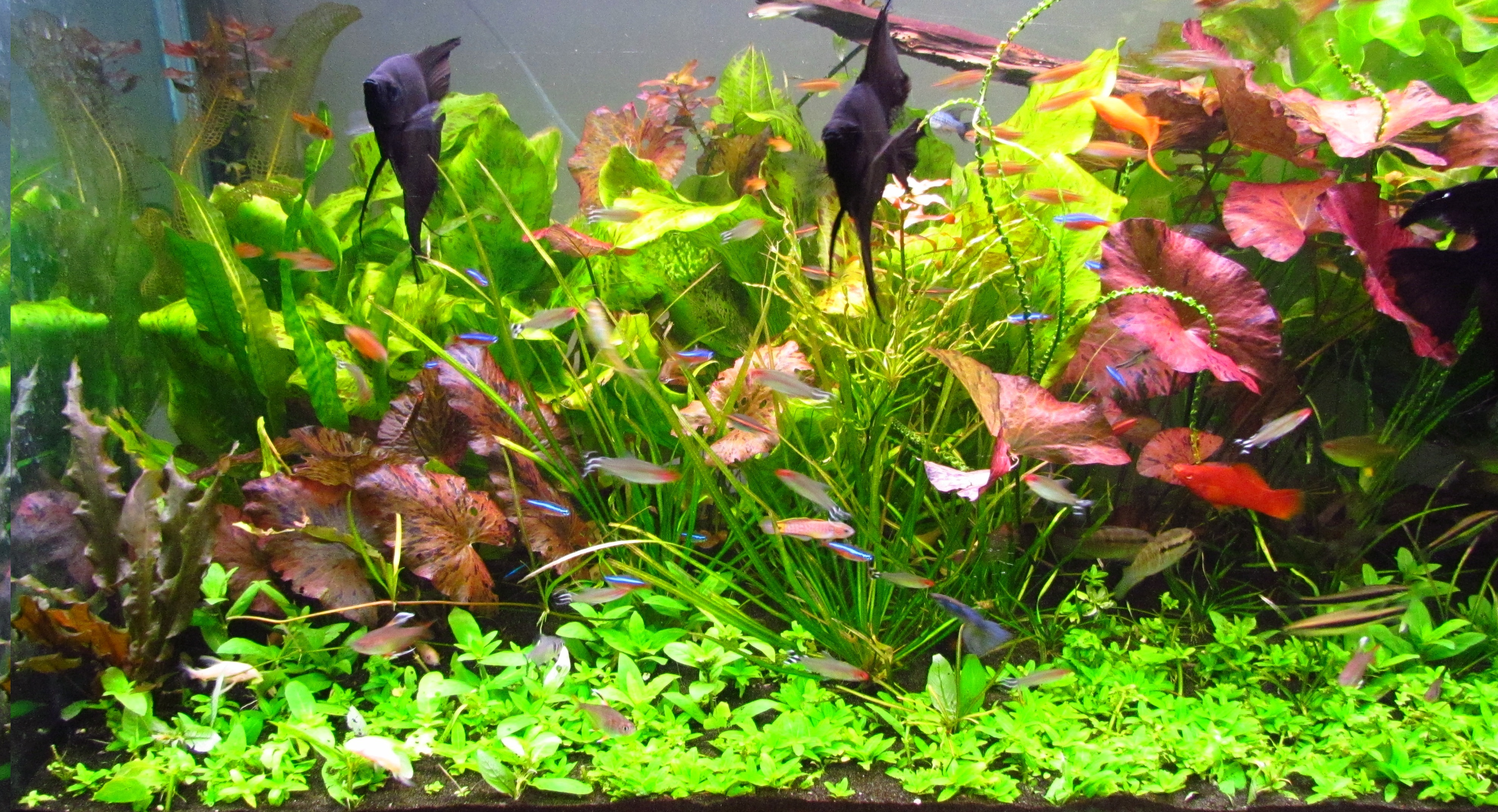 Live freshwater aquarium plants for sale cheap low prices, moss, hornwort, baby tears, java fern