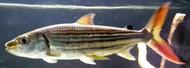 "5""-6"" Hydrocynus Vittatus Tiger Fish"