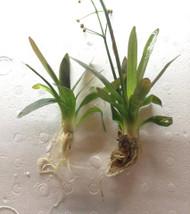 Chilensis Broadleaf Sagittaria Platyphylla