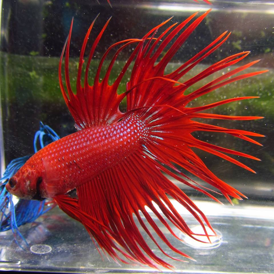 Pre-Order Assorted Color Crowntail Male Bettas - TRiN's ... - photo#12