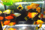5 Assorted Colorful Platy