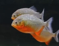 """3""""-4"""" Red Belly Piranha"""
