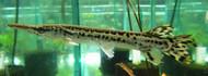 """5"""" Alligator Gar"""