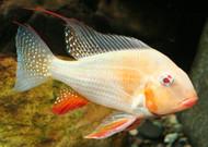 Albino Heckelii Cichlid