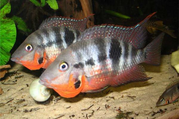 Breeding Pair Firemouth Meeki Cichlid Trin S Tropical Fish