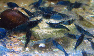 5 Blue Velvet Shrimp