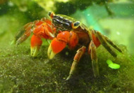 Red Claw Crab