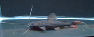 Asain Redtail Catfish