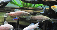Albino Marbled Hoplo Catfish
