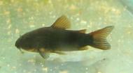 Black Corydoras Catfish