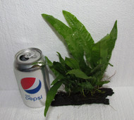 Java Fern on Driftwood