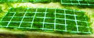 Subwassertang 5x2 Moss Pad