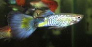 Blue Cobra Guppy Male
