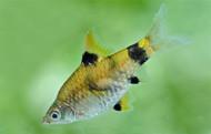6 Golden Dwarf Barb Nano Fish