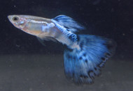Blue Nebula Burst Guppy Pair