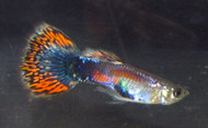 Mosaic Flame Tail Guppy Pair