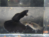 Pair Black Moscow Guppy