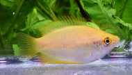Dwarf Golden Honey Gourami