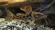 """5"""" Giraffe Catfish Auchenoglanis sp. bouche"""