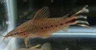 Porthole Flagtail Catfish