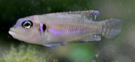 Ocellatus Shell Dweller