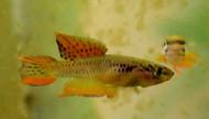 Pair Aphyosemion Bitaeniatum Killifish