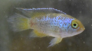 Pair Golden Dwarf Cichlid