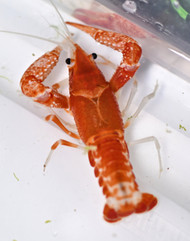 Orange Ghost Crayfish