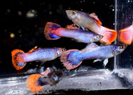 Metallic Pink Glitter Guppy