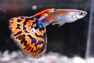 Pair Red Mosaic Guppies
