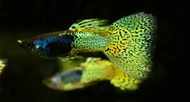 Green Lace Metal Head Male Guppy