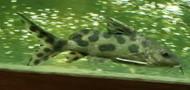 "5"" Jaguar Synodontis"