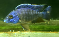 "5"" Blue Peacock Cichlid"