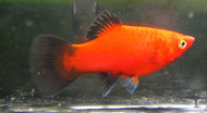 Red Platy Wag