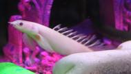 """6"""" Albino LONGFIN Bichir"""