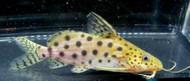 "6"" Synodontis Ocellifer Catfish"