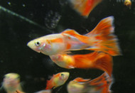 3 Pair Orange Blast Guppy