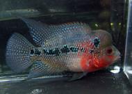 """2""""-3"""" Red Dragon Flowerhorn Cichlid"""