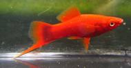 Red Velvet Swordtail
