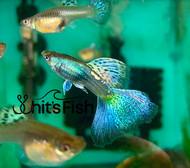 Blue Iron Topaz Grass Adult Group